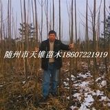 泡桐米径4公分苗