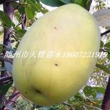 木瓜海棠米径5公分苗