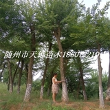 三角枫丛生移栽大树苗