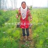 湿地松2年生移栽营养杯苗