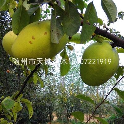 供各规格木瓜海棠苗木和种子