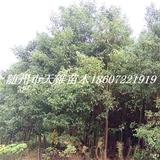 香樟树米径3公分苗
