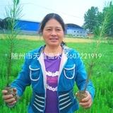 湿地松2年生容器苗