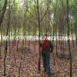 香樟树米径2公分苗