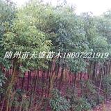 香樟树3年生苗