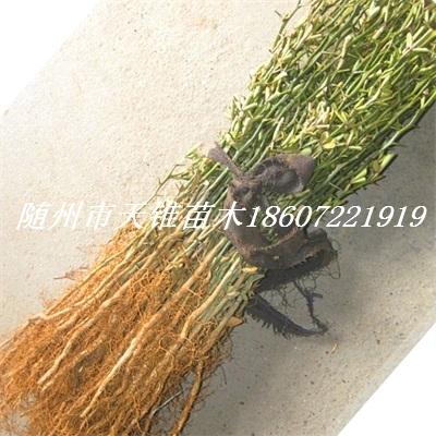 枳壳1年生地径0.3-0.5公分苗