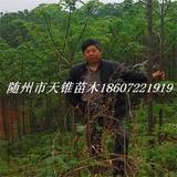 泡桐米径5公分苗