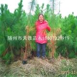 湿地松4年生营养杯苗