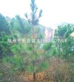 湿地松米径8公分苗