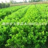 柑桔类新品种嫁接营养杯苗