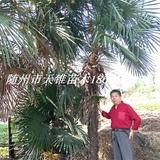 棕榈高550-650公分苗