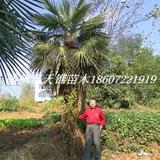 棕榈高650-750公分苗