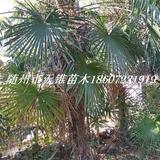 棕榈高350-450公分苗
