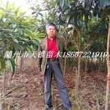 枇杷树米径2公分苗