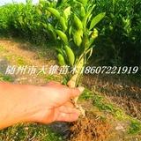 柑桔类新品种嫁接大苗