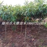 枇杷树米径4公分苗