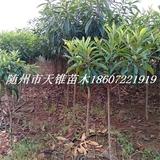 枇杷树米径3公分苗