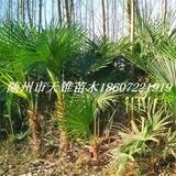 棕榈高80-120公分苗