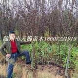 红叶李5-6公分苗
