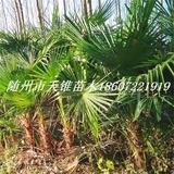 棕榈高180-220公分苗