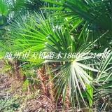 棕榈高30-50公分苗