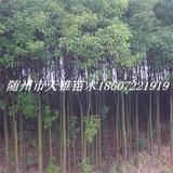 香樟树米径4公分苗