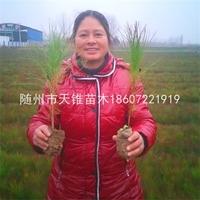 湿地松1年生容器苗