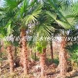 棕榈高250-350公分苗