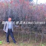 红叶李3-5公分苗
