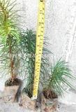 杉木容器苗
