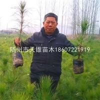 湿地松2年营养杯苗